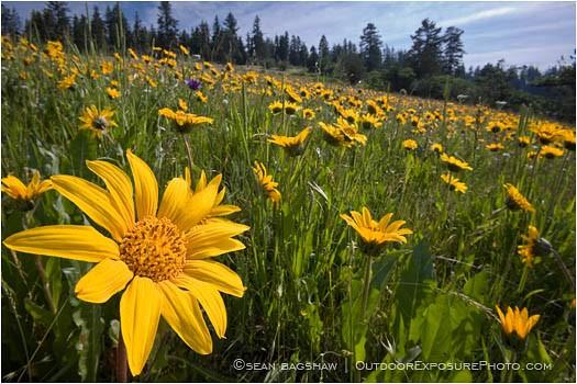 Yellow wildflowers 4 stock image oregon landscape stock images yellow wildflowers 4 stock image oregon mightylinksfo