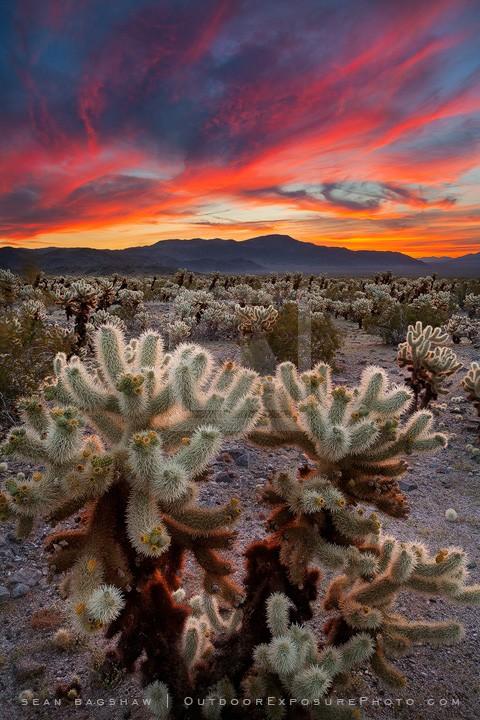 Desert Symphony Print, Joshua Tree, California