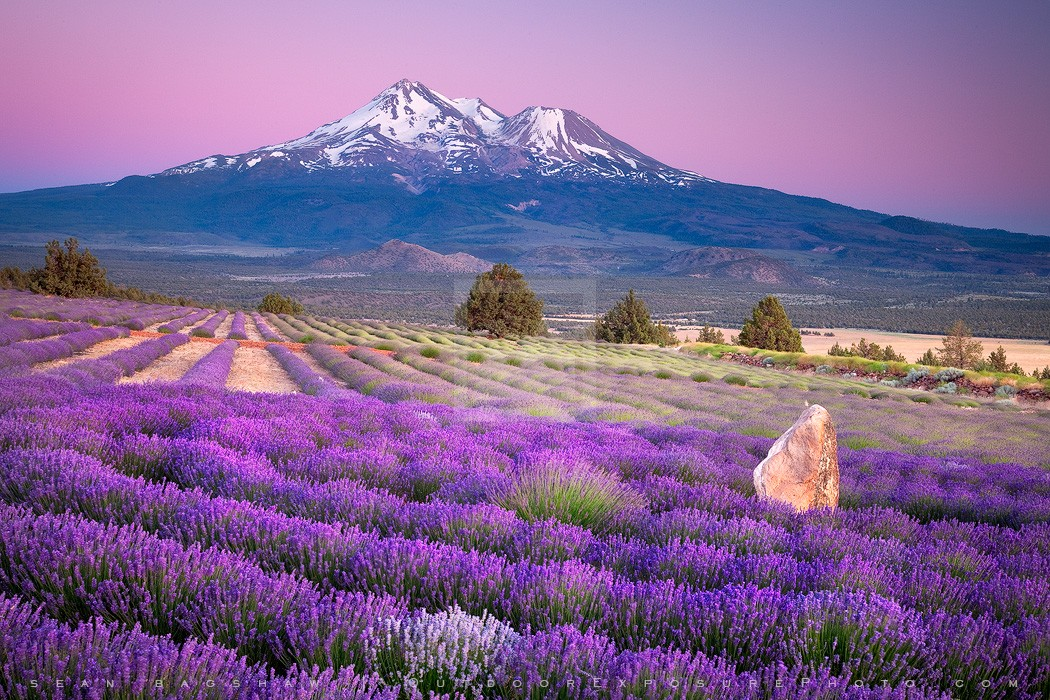 Shasta Lavender Print, Shasta Valley, California