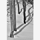 Aspen Shadow Shapes Stock Image, Utah