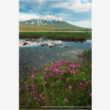 Summer Bloom Below Mt. Bachelor II Stock Image, Cascade Range, Central Oregon