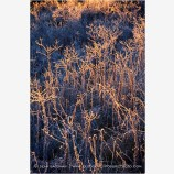 Backlit Frosted Grassland Stock Image