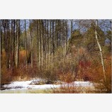 Winter Aspen And Willows Stock Image,