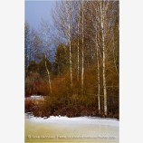 Winter Aspen And Willows II Stock Image,