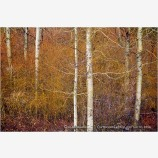 Winter Aspen And Willows III Stock Image, Oregon