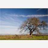Rogue Valley Oak Tree Stock Image,