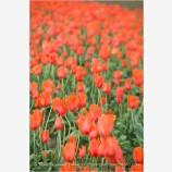 Tulips 1 Stock Image,