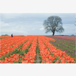 Tulips 2 Stock Image,