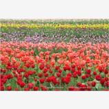 Tulips 3 Stock Image,