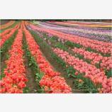 Tulips 4 Stock Image,