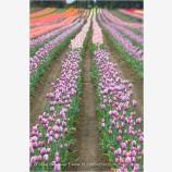 Tulips 6 Stock Image,