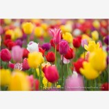 Tulips 8 Stock Image,