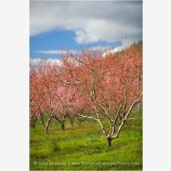 Cherry Orchard 1 Stock Image