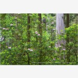 Rhododendron and Redwoods 1 Stock Image,