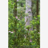 Rhododendron and Redwoods 2 Stock Image,