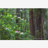 Rhododendron and Redwoods 3 Stock Image,