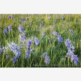 Camas Flowers Stock Image
