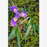 Wild Iris Stock Image