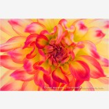 Pink and Yellow Dahlia Stock Image,
