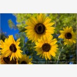 Sunflowers 1 Stock Image