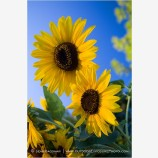 Sunflowers 2 Stock Image,
