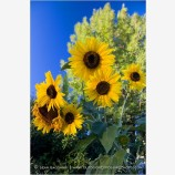 Sunflowers 3 Stock Image,