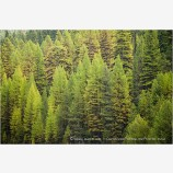 Western Larch Forest Stock Image,