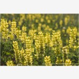 Yellow Lupine Stock Image