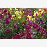Dahlia Garden Stock Image, Bandon, Oregon