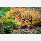 Bonsai Maple Stock Image, Lithia Park, Ashland, Oregon