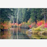 Vine Maple Along The Rogue River Stock Image,