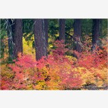 Vine Maple Along The Rogue River 3 Stock Image,
