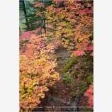 Vine Maple Along The Rogue River 5 Stock Image,