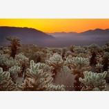 Cholla Cactus Stock Image, Joshua Tree National Park, California