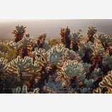 Cholla Cactus 2 Stock Image, Joshua Tree National Park, California