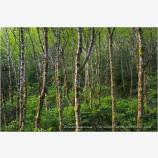 Alder Forest Print, Nickel Creek, Del Norte Coast Redwoods State Park, California