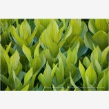 Corn Lily Dance Stock Image