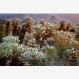 Cholla Cactus 3 Stock Image, Joshua Tree National Park, California