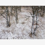 Oak Trees in Snow Stock Image,