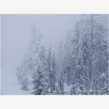 Trees in a Snow Storm Stock Image,