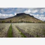 Pear Orchard and Lower Table Rock 2 Stock Image, Oregon