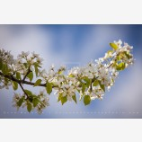 Pear Trees in Spring Stock Image, Oregon