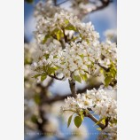 Pear Trees in Spring 2 Stock Image, Oregon