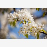 Pear Trees in Spring 3 Stock Image, Oregon