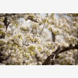 Pear Trees in Spring 4 Stock Image, Oregon