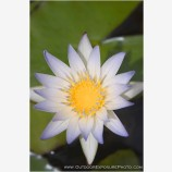 Pond Lily Stock Image