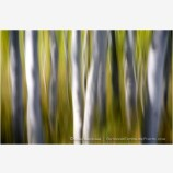 Dream Trees Stock Image, Aspen Grove in Montana