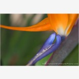 Bird Of Paradise Stock Image, Hawaii