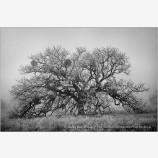 One Oak Stock Image