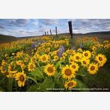 Dalles Mountain Flowers Stock Image, Columbia Gorge, Washington